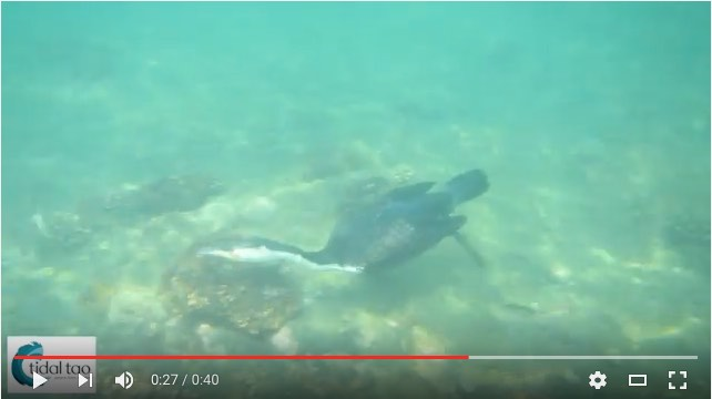 Snorkeling with Cormorants