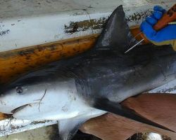 Landmark Shark Protection Laws Come Into Effect